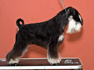 What is your favourit stud dog?? Oskar4.5yearsIMG_9500