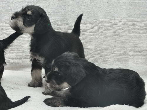 HOUSE KAZAK Black and silver puppies out of CH CHELINES LUCKY FRANCE & CH HOUSE KAZAK DELPHY U-litterDSC_0862